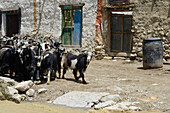 Goats in Lo Manthang (3840 m), former capital of the Kingdom of Mustang and residence of the King Raja Jigme Dorje Palbar Bista at the Kali Gandaki valley, the deepest valley in the world, fertile fields are only possible in the high desert due to a elabo