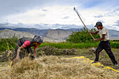 Tibetan woman and man separating the wheat from the chaff with a flail, Tsarang, Charang, tibetian village with a buddhist Gompa at the Kali Gandaki valley, the deepest valley in the world, fertile fields are only possible in the high desert due to a elab