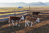 Calves in pen, with ger and distant hills, summer dawn, Nomad camp, Gurvanbulag, Bulgan, Northern Mongolia, Central Asia, Asia