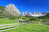 The Odle in background enhanced by flowering trees, Funes Valley, South Tyrol, Dolomites, Italy, Europe