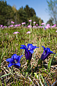 flowering meadow with Gentian and Primula, Upper Bavaria, Germany