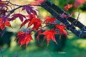 Autumn, leaves, Acer palmatum