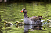 Greylag Goose with chicks, Anser anser, Bavaria, Germany