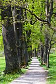 Oaks, Alley in spring, Kottmueller-Allee, Murnau, Upper Bavaria, Germany