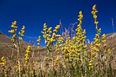 yellow wildflower, Galium verum, Alps, Queyras, France, Europe