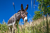 Donkey in Queyras, Equus asinus, Alps, Southern France, Europe