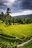 Grüne Reis-Terrassen mit Palmen - Indonesien, Bali