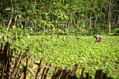 Farmer with traditional Indonesian hat working on a field - Indonesia, Java