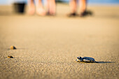 Baby green turtle a green turtle on the beach, people in the background, Java, Indonesia
