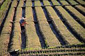 Agriculture at Doi Inthanon near Chiang Mai, North-Thailand, Thailand, Asia