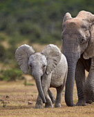 African elephant Loxodonta africana juvenile and adult, Addo Elephant National Park, South Africa, Africa