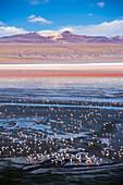 Flamingos at Laguna Colorada Red Lagoon, a salt lake in the Altiplano of Bolivia in Eduardo Avaroa Andean Fauna National Reserve, Bolivia, South America