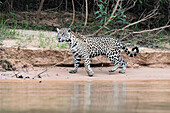 Jaguar Panthera onca on a riverbank, Cuiaba river, Pantanal, Mato Grosso, Brazil, South America