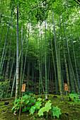 Tenryu-ji temple garden bamboo grove with under-planting in summer, Arashiyama, Kyoto, Japan, Asia