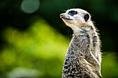 Meerkat Suricata suricatta, in captivity, United Kingdom, Europe