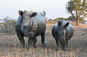 White rhino Ceratotherium simum with calf, Hluhluwe-iMfolozi game reserve, KwaZulu-Natal, South Africa, Africa