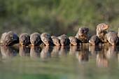 Banded mongoose Mungos mungo drinking, Zimanga private game reserve, KwaZulu-Natal, South Africa, Africa