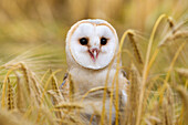 Barn owl Tyto alba, captive, Cumbria, England, United Kingdom, Europe