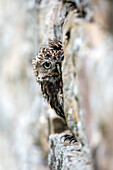 Little owl Athene noctua perched in stone barn, captive, United Kingdom, Europe