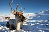 Reindeer Rangifer tarandus female, Cairngorms National Park, Scotland, United Kingdom, Europe