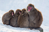 Snow monkeys Macaca fuscata huddling together for warmth, Japanese macaque, captive, Highland Wildlife Park, Kingussie, Scotland, United Kingdom, Europe