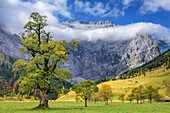 Maple in autumn colours with Grubenkarspitze in clouds, Grosser Ahornboden, Eng, Natural Park Karwendel, Alpenpark Karwendel, Karwendel, Tyrol, Austria