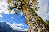 Trunk of a maple in autumn colours with Spritzkarspitze, Grosser Ahornboden, Eng, Natural Park Karwendel, Alpenpark Karwendel, Karwendel, Tyrol, Austria