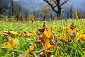 Maple leaves in autumn colours, Grosser Ahornboden, Eng, Natural Park Karwendel, Alpenpark Karwendel, Karwendel, Tyrol, Austria