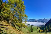 Herbstlich verfärbter Laubbaum mit Hochries und Spitzstein im Hintergrund, Heuberg, Chiemgau, Chiemgauer Alpen, Oberbayern, Bayern, Deutschland