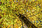 Herbstlich verfärbte Buche, Mühltal, Würmtal, Starnberg, Oberbayern, Bayern, Deutschland