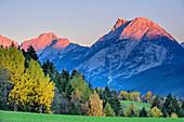 Hohe Munde im Alpenglühen mit herbstlich verfärbten Bäumen, Inntal, Mieminger Berge, Tirol, Österreich