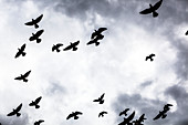 Low angle view of silhouetted flock of birds flying against a cloudy sky, Thessaloniki, Greece