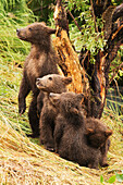 Four brown bear cubs (ursus arctos) are in a row under a tree on the grassy bank of Brooks River, Alaska, United States of America
