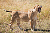 A lioness (Panthera leo) stands on the grass of the African savannah yawning with her eyes closed and mouth wide open, showing all her teeth, Narok, Kenya