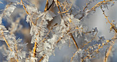 Hoar frost on branches, Alberta, Canada