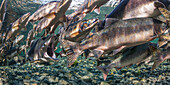 Alpha male Pink Salmon Oncorhynchus gorbuscha gaping during spawning migration, Alaska