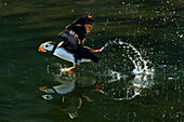 Horned puffin Fratercula corniculata taking off and creating reflections on green water, Chiniak Bay, Kodiak, Alaska, summer, Southwestern Alaska