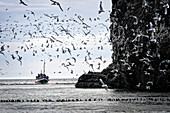 The Danny J Kachemak Bay Ferry cruises by the Gull Island sea bird rookery in Kachemak Bay, Southcentral Alaska, summer