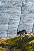 A Black bear with Exit Glacier in the background on a sunny summer day in Kenai Fjords National Park, Kenai Peninsula, Southcentral Alaska.