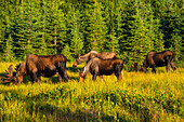 A group of moose, two bulls and two cows, feeding on on grass in Kincaid Park, Anchorage, Southcentral Alaska, summer
