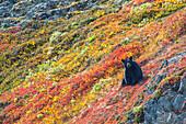 Black bear Urus Americanus sitting on a colorful autumn hillside, Kenai Fjords National Park, Southcentral Alaska