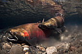 Coho Salmon Oncorhynchus kisutch in the act of spawning in an Alaska stream during late autumn.