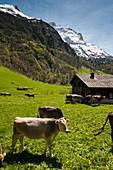 cattle, Valley near Elm, cows on pasture, a UNESCO World Heritage Site Swiss Tectonic Arena Sardona, Kanton Glarus, Switzerland