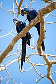 Hyacinth macaws Anodorhynchus hyacinthinus, Mato Grosso do Sul, Brazil, South America