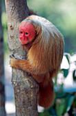 Bald uakari red uakari monkey Cacajao calvus, conservation status vulnerable, Amazonas, Brazil, South America