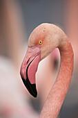 Pink flamingo, Camargue, France, Europe
