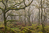 Moss covered trees in Wistman's Wood, Dartmoor National Park, Devon, England, United Kingdom, Europe