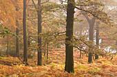 Autumn colours in Glencoyne Wood on the slopes above Ullswater, Lake District, Cumbria, England, United Kingdom, Europe