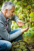 Caucasian farmer examining grapes on vines