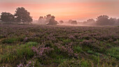 Sunrise over the blooming Mehlinger heath, Kaiserslautern, Rhineland-Palatinate, Germany